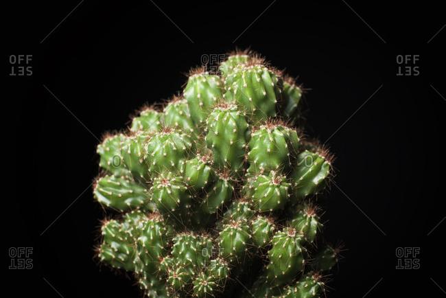 Close-up of cactus against black background