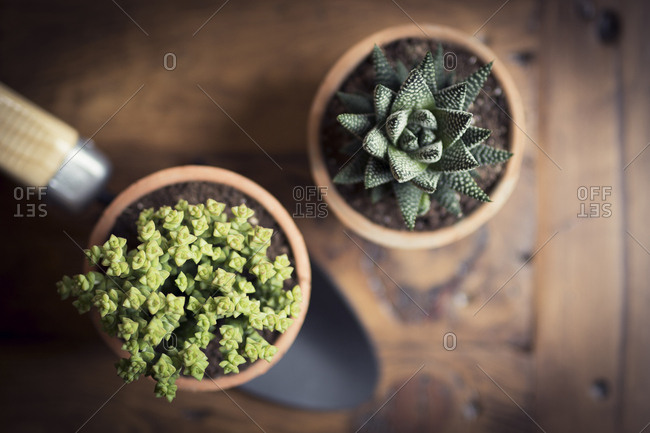 Close-up of succulent plants and trowel on table