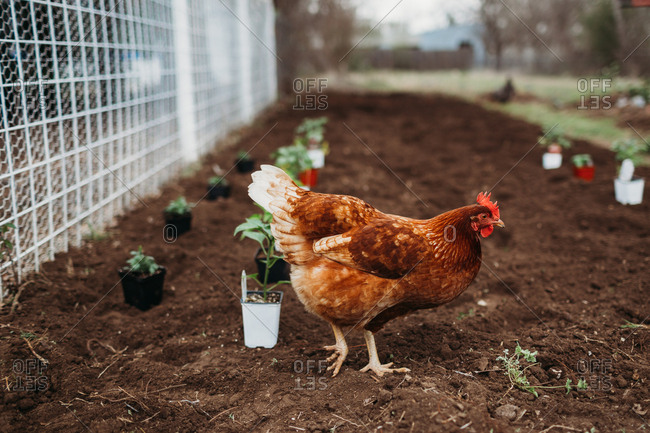 Brown chicken walking in garden dirt