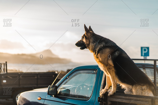 Big dog sitting in opened trunk of the car in sunset lights.