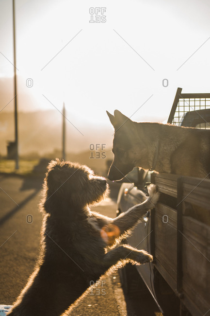 Side view of cute dog leaning on car and sniffing dog in the car in sunset lights.