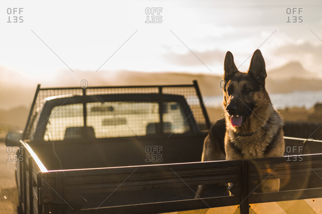 Big dog standing and riding in opened trunk of pickup in sunset lights.
