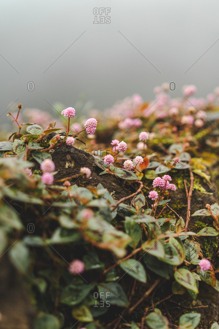 Close-up small pink flowers with green leaves growing on stone in nature.