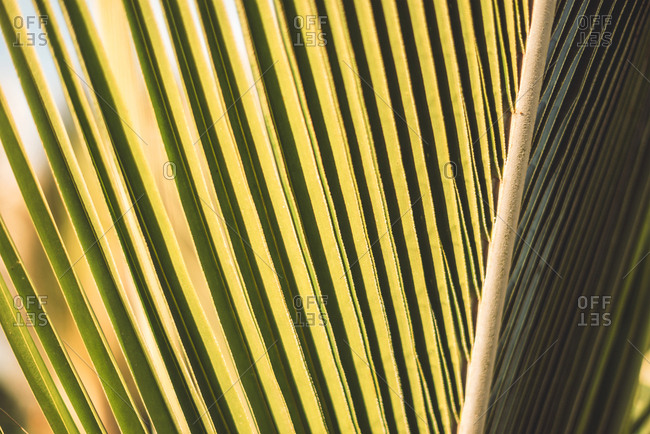 Close-up green palm leaf texture with stem in sunlight.