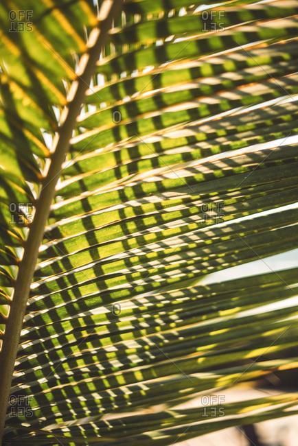 Close-up green palm leaf