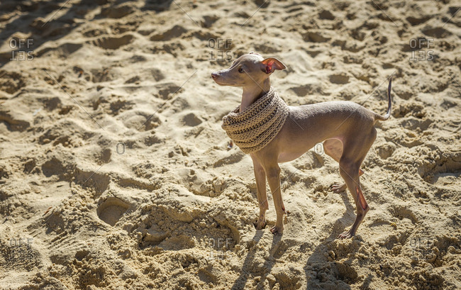 Little Italian Greyhound dog in the park. Fun with costumes. Playing