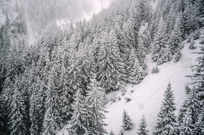 Snowy pine trees snow landscape.