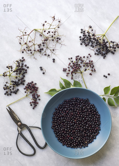 A blue bowl with freshly harvested elderberries surrounded by elderberry branches and scissors on marble