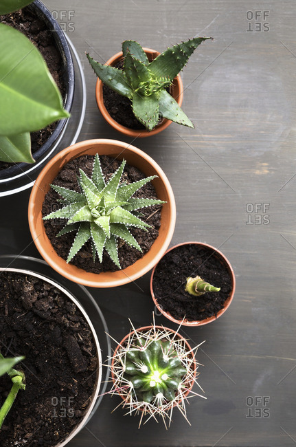 Potted succulents on wooden table