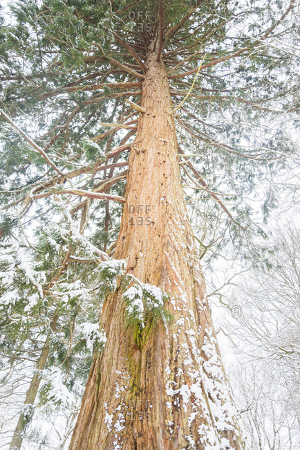 Tall spruce tree on a snowy winter day in New Forest, England
