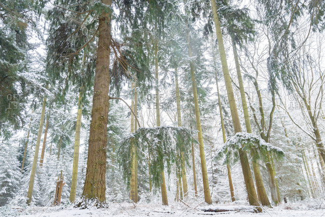 Densely wooded forest covered in snow, New Forest, England