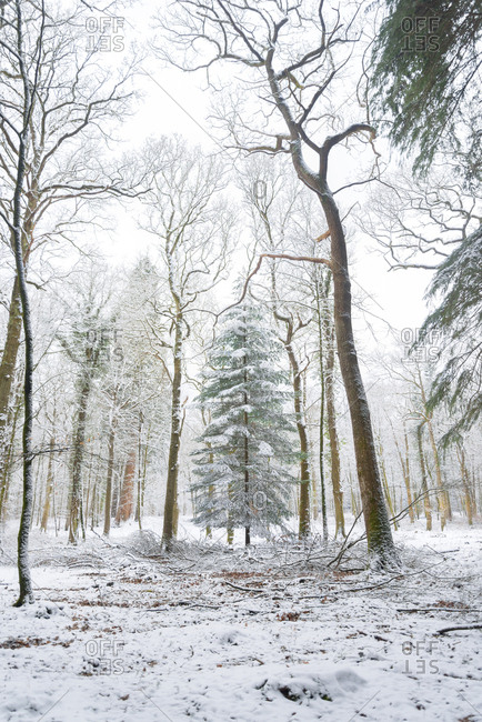 Fir tree in the middle of the forest with snowfall, New Forest, England