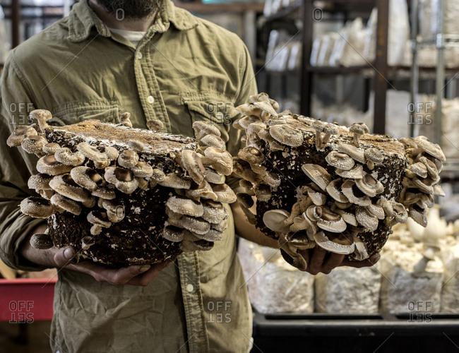 Oyster mushrooms at mushroom farm