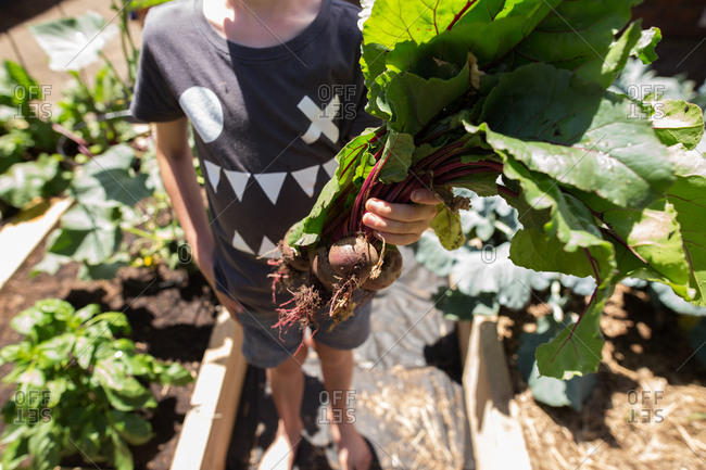 Boy holding a bunch of freshly picked beets from garden