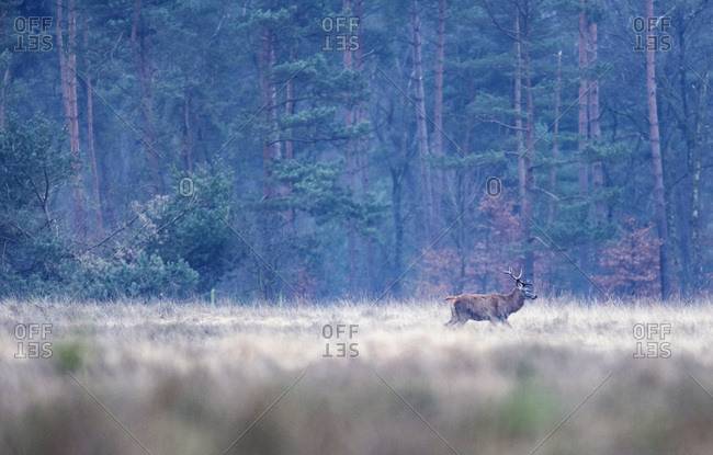 Red deer stag walking in field with tall yellow grass