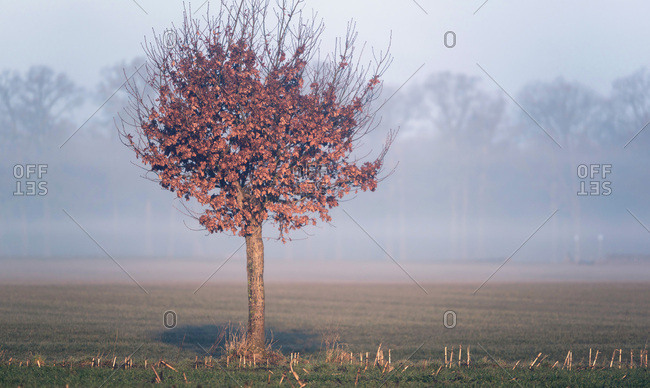 Pollard willow with brown colored leaves lit by morning sunlight in misty rural landscape