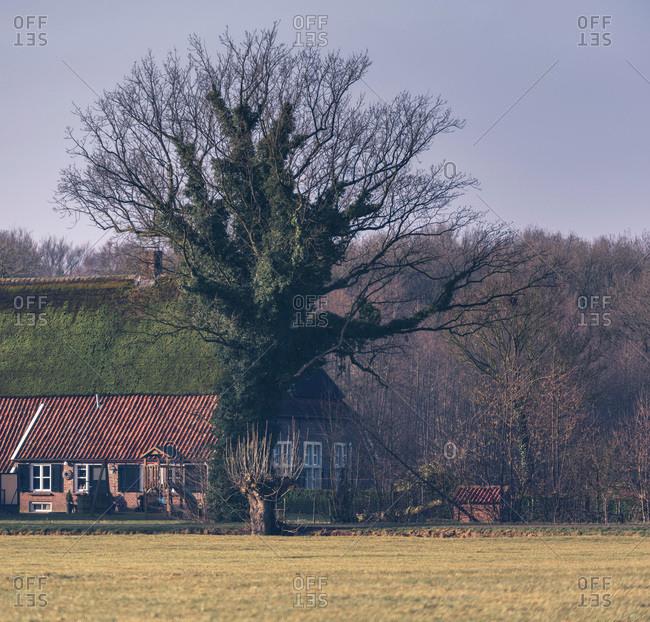 Big old winter tree lush overgrown standing near old farm