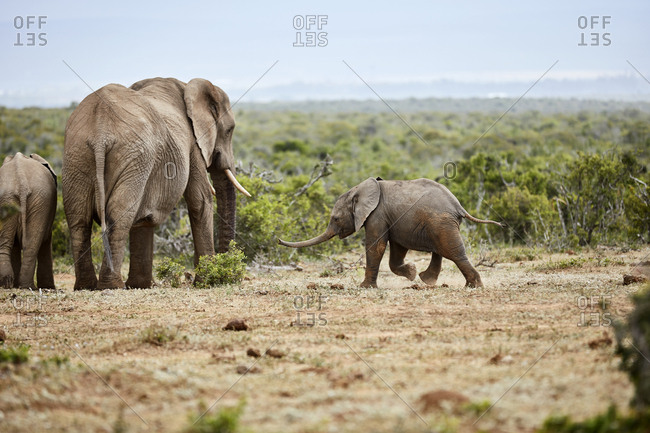 South Africa- Eastern- Cape- Addo Elephant National Park- african elephants- Loxodonta Africana