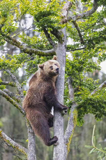 Germany- Bavarian Forest National Park- animal Open-air site Neuschoenau- brown bear- Ursus arctos- climbing