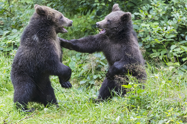 Germany- Bavarian Forest National Park- animal Open-air site Neuschoenau- brown bear- Ursus arctos- young animals playing