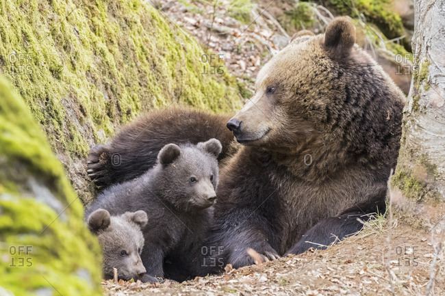 Germany- Bavarian Forest National Park- animal Open-air site Neuschoenau- brown bear- Ursus arctos- mother animal with young animals
