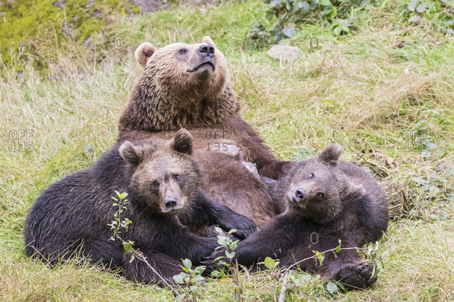 Germany- Bavarian Forest National Park- animal Open-air site Neuschoenau- brown bear- Ursus arctos- mother animal with young animals- feeding