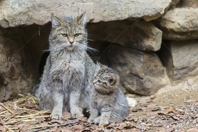 Germany- Bavarian Forest National Park- animal Open-air site Neuschoenau- wild cats- Felis silvestris- mother animal with young animal