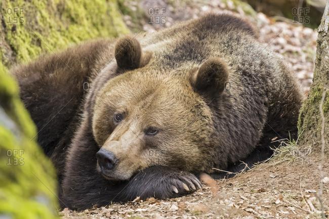 Germany- Bavarian Forest National Park- animal Open-air site Neuschoenau- brown bear- Ursus arctos- young animal lying