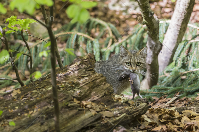 Germany- Bavarian Forest National Park- animal Open-air site Neuschoenau- wild cat- Felis silvestris- with prey