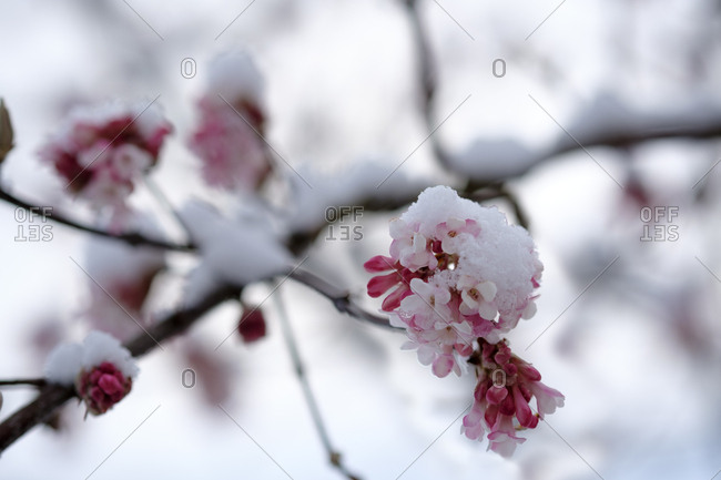Snow-covered blossoming snowball tree- close-up