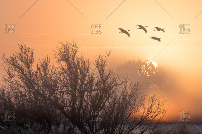Sandhilll cranes in flight at sunrise
