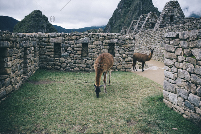 Llamas standing at old ruins against cloudy sky