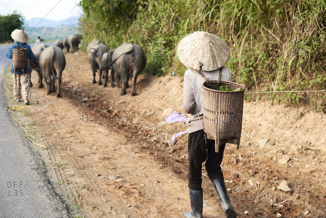 Local vietnamese farmers carrying vegetables surrounded by buffalo on the road in central highlands, Vietnam