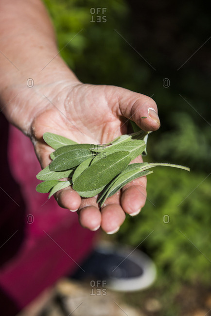 Chef holding freshly cut sage leaves in back yard garden