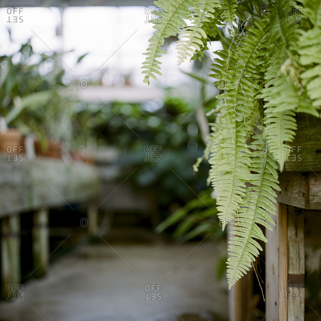 Fronds of a fern growing inside a greenhouse