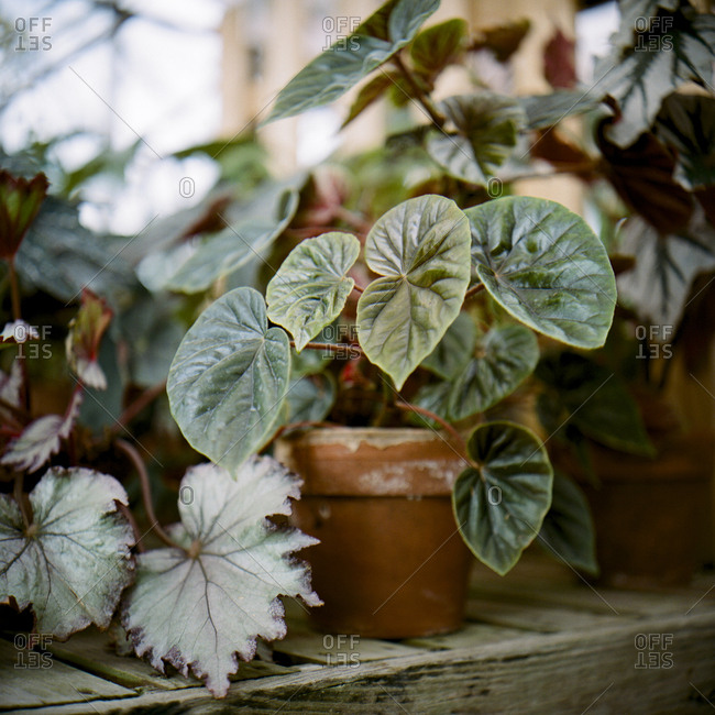 Decorative potted plant in greenhouse