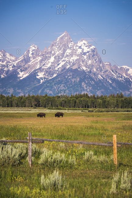 Bison wander in field with Grand Teton in background, Grand Teton National Park, Wyoming, USA