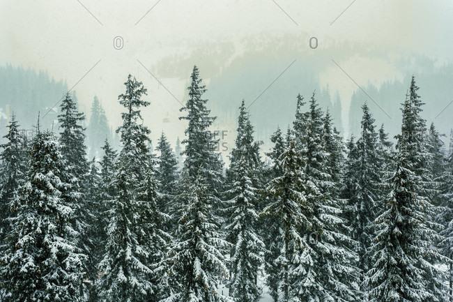Treetops covered in snow in Carpathian Mountain, Ukraine