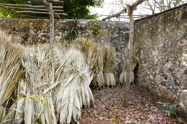 Bundles of dried Sisal leaves stacked outdoors in Yucatan, Mexico