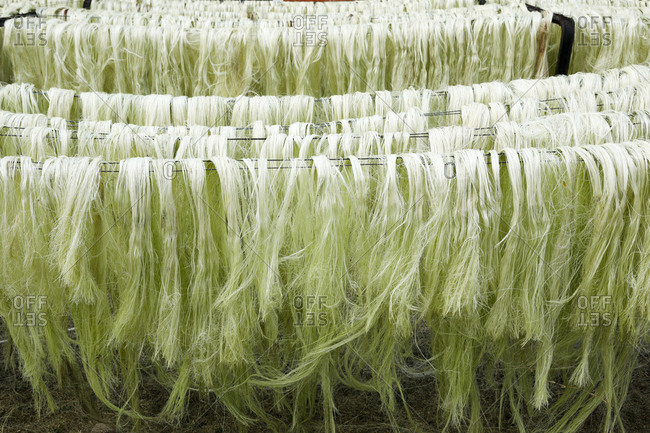 Decorticated sisal fibers hanging out to dry in the open in Yucatan, Mexico
