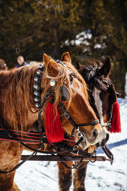 Portrait of horses in the snow