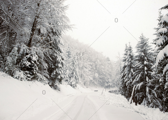 View to fir trees forest covered with snow in winter day.