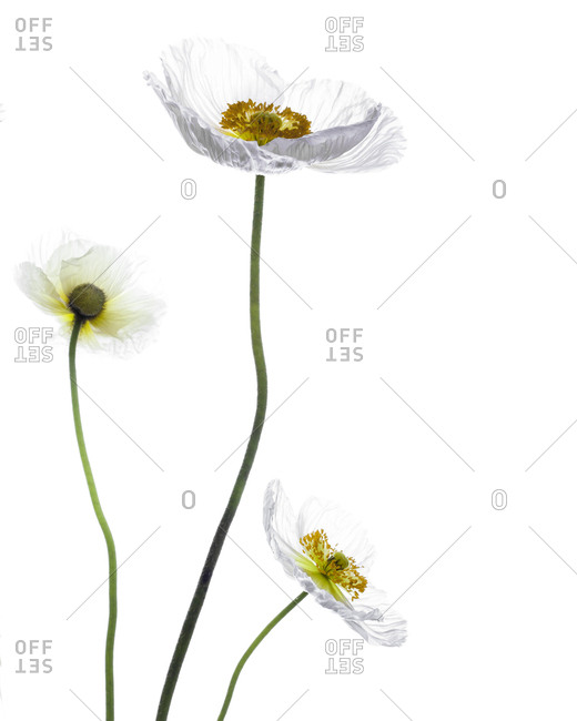 Three slender poppy stems and blossoming flowers