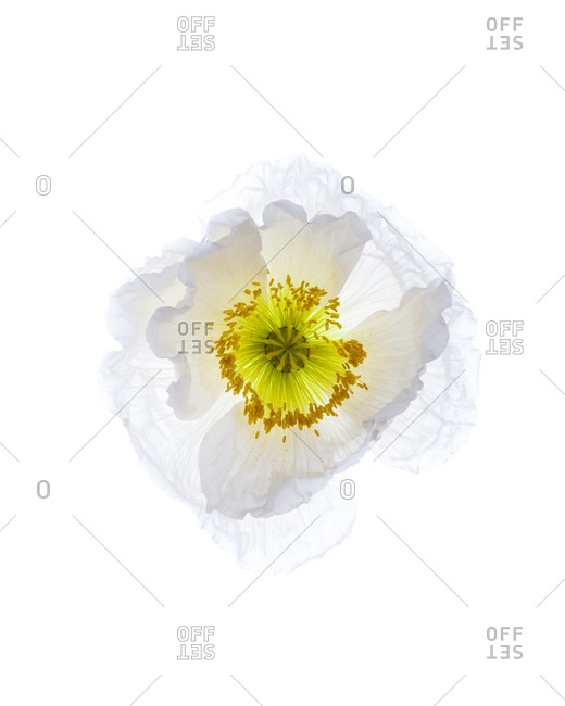 Close-up studio still life of blooming poppy flower
