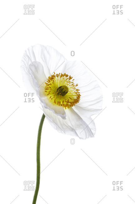 Side view of single poppy flower