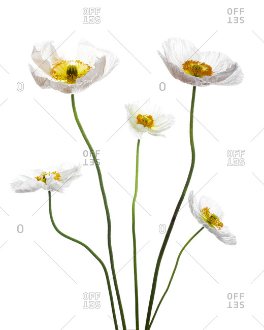 Bundle of five poppy flowers arranged in symmetrical order