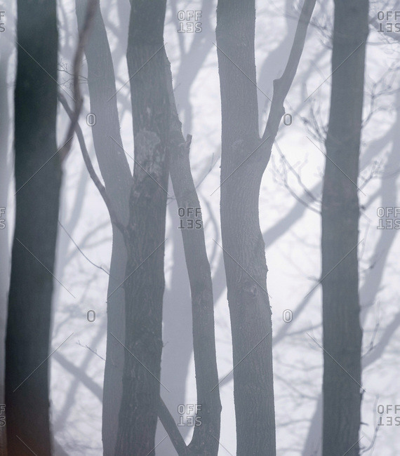 Pattern of tree trunks in the mist