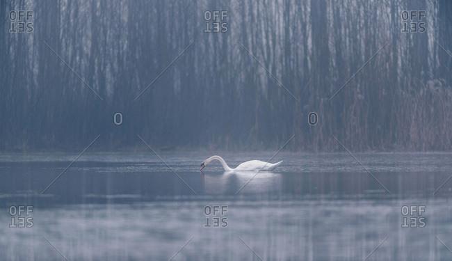 Mute swan (Cygnus olor) foraging in misty winter lake