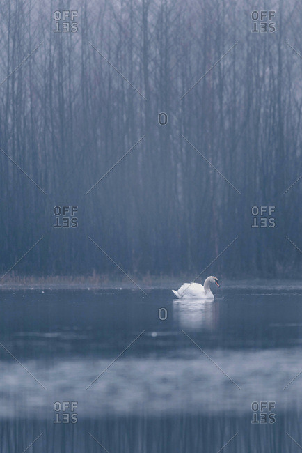 Single mute swan (Cygnus olor) floating in winter lake