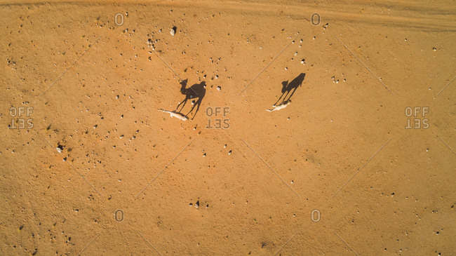 Aerial view of a couple of camels in the desert of Sharjah, UAE